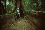 Birdwatcher within buttress roots of huge tropical tree