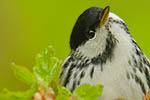 Blackpoll Warbler (male) in leafing Spring tree