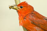 Summer Tanager eating bee