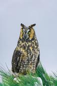 Long-eared Owl on winter snag