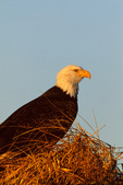 Bald Eagle in winter beach grass