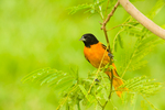 Baltimore Oriole in Lead Tree/Tepeguaje