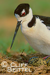 Black-necked Stilt settling on eggs