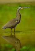 Bare-throated Tiger-Heron in shallows 