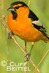Bullock's Oriole in marsh