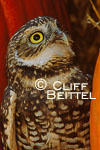 Burrowing Owl in pumpkins