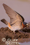 Cliff Swallow gathering mud for nest