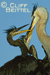 Great Blue Heron feeding young on nest
