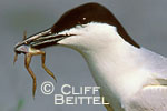 Gull-billed Tern with frog