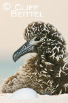 Laysan Albatross chick and unhatched egg in twilight (could be Black-footed Albatross chick; no parent was present)