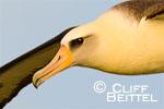 Laysan Albatross, early light