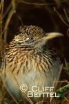 Greater Roadrunner in thicket