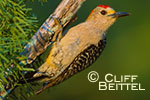 Golden-fronted Woodpecker on mesquite