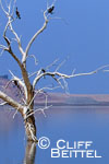 Double-crested Cormorants on drowned trees