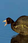 American Coot calling/yawning, showing large foot with webbed toes