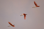 Roseate Spoonbills, dawn flight