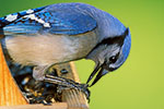Blue Jay shelling sunflower seed at feeder