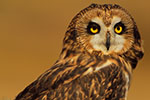 Short-eared Owl, Fall meadow
