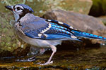 Blue Jay fledgling in backyard stream to drink