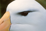 Black-browed Albatross close-up