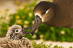 Black-footed Albatross (Phoebastria nigripes) about to feed chick