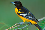 Baltimore Oriole (male) in mesquite (Prosopis glandulosa)