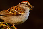 Chipping Sparrow in spruce (Picea abies) with insect larvae to feed young