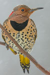 Northern Flicker (yellow-shafted female) in snowstorm