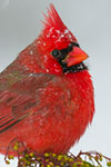 Northern Cardinal (male) on Pieris japonica in snowstorm