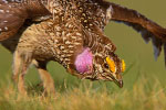 Sharp-tailed Grouse (male) dancing on lek 