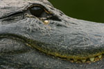 American Alligator closeup