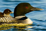 Common Loon carrying chick on its back