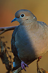 Mourning Dove on Fall pokeweed, last light