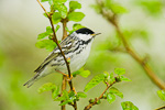 Blackpoll Warbler (male) in leafing Spring mulberry