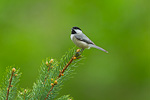 Carolina Chickadee on Spring spruce