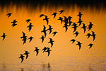 Dunlin flock in flight at sunset