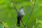 Gray Catbird singing in Spring woods