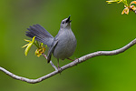 Gray Catbird singing from leafing Pignut Hickory (Carya glabra)