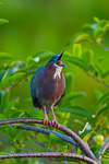 Green Heron (breeding plumage) calling from Pond Apple (Annona glabra)