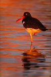 American Oystercatcher resting on one leg, sunset