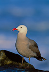 Heermann's Gull on rock by Pacific Ocean