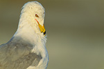 Ring-billed Gull (late winter plumage) preening