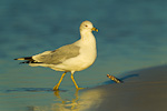Ring-billed Gull emerging from tidal pool