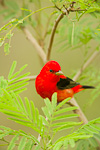 Scarlet Tanager (male) in Lead Tree/Tepeguaje