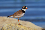 Semipalmated Plover (breeding plumage) by tundra pond
