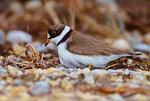Semipalmated Plover settling over eggs
