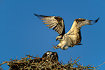 Osprey (male) landing at nest, joining female