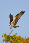 Osprey about to land at nest in cypress tree