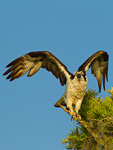 Osprey near nest in cypress tree