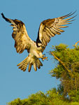 Osprey landing near nest in cypress tree